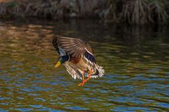 Duck wild, male flies over the river. Duck wild, flies over the river Royalty Free Stock Images