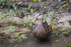 Duck in the Wild Royalty Free Stock Photography