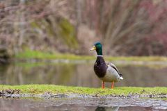 Wild duck stands on the shore of a lake. Duck wild on the lake Royalty Free Stock Photography