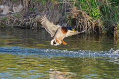 Duck wild, flies over the river. Duck wild, male flies over the river Royalty Free Stock Photos