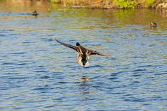 Duck wild, flies over the river. Duck wild, male flies over the river Royalty Free Stock Photo