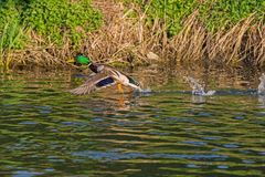 Duck wild, flies over the river. Duck wild, male flies over the river Royalty Free Stock Images