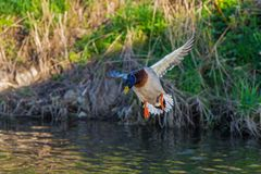 Duck wild, male flies over the river and green grass. Duck wild, male flies over the river Stock Image
