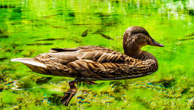 Duck. Wild duck on a pond, Croatia. Image shows also fish (chubs) under water and duck's legs Stock Images
