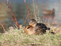 Duck. The wild duck sits in a grass ashore on a nest Royalty Free Stock Images