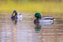 Duck wild  swiming on the lake. Duck wild male swiming on the lake Stock Photos