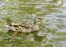 Duck. A wild duck swimming in lake Royalty Free Stock Photo