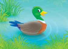 Duck. Wild duck swimming in a pond Stock Photo