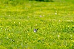 Duck wildlife Green Grass. Duck wildlife Outdoor in a Park Stock Images