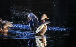 Duck wings flap. Splashes of water Stock Photos