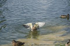 Duck with wings spread on a lake. A duck with wings spread on a lake Royalty Free Stock Photo
