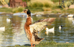 Duck wingspread Stock Photography
