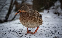 Duck in winter. Duck looking for food in the middle of winter Stock Photo