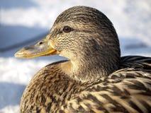 Duck in winter Stock Images
