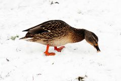 Duck in the winter on the snow. Duck in the winter on the white snow Royalty Free Stock Photo