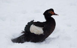Duck on the winter snow. Duck on the white winter snow. Bird Royalty Free Stock Images