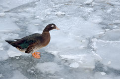 Duck in winter time Stock Photography