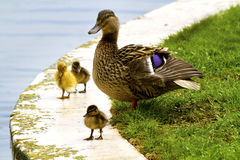 Duck With Chicks Stock Images