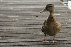 Duck. A duck on a wooden dock Stock Photography