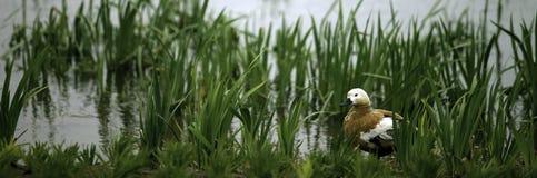 A duck Stock Photos