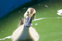Duck. Yellow duckling in a pool staring at the camera Royalty Free Stock Photography