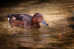 Duck. Young brown duck with drops of water on her head Stock Photos