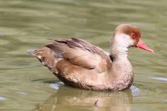 Duck. Young pochard duck, Nette rousse, on the water pond Stock Images