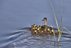 Duck with young in Pond Stock Photography