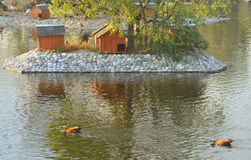 Duck in zoo. Waterfowl swimming on the lake Stock Photography