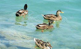 Ducka fåglar som simmar i en sjö för blått vatten Fotografering för Bildbyråer