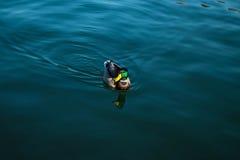 ducka floden Royaltyfri Bild