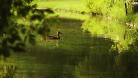 Ducka med ankungar går på att sväva i dammvattnet Harmoni av naturen arkivfilmer