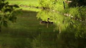Ducka med ankungar går på att sväva i dammvattnet Harmoni av naturen stock video