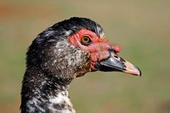 ducka muscovy Royaltyfri Bild