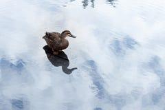 ducka på ett damm Fotografering för Bildbyråer