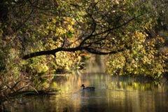 Ducka simning i sjön bland träden fotografering för bildbyråer