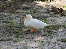 ducka white Arkivbilder