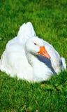 ducka white arkivbild