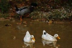 ducka white Arkivfoton