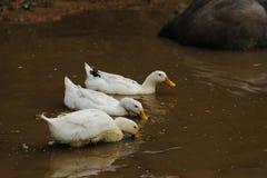 ducka white Royaltyfria Bilder