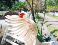 ducka white Royaltyfri Fotografi