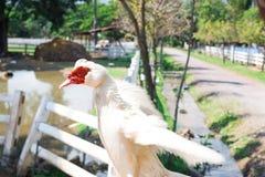 ducka white Fotografering för Bildbyråer