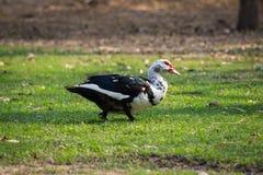 ducka white Arkivfoto