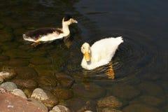 ducka white behandla som ett barn den gulliga anden Ung vit duckar simning i vattnet i sjön Ankungebad i dammet Behandla som ett  Royaltyfria Foton