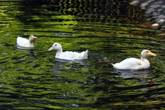 ducka white behandla som ett barn den gulliga anden Ung vit duckar simning i vattnet i sjön Ankungebad i dammet Behandla som ett  Royaltyfri Bild