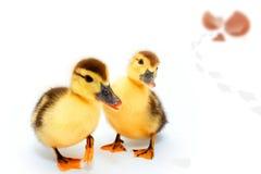duckar ägget Arkivbild
