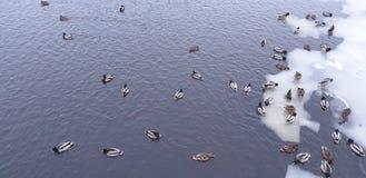 duckar is Andcloseup på vattnet i vinter arkivfoton