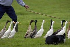 duckar att vägleda för bonde Royaltyfri Fotografi