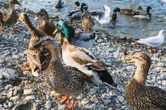 Duckar closeups nära vattnet som söker efter mat royaltyfria foton