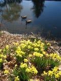 duckar damm Fotografering för Bildbyråer